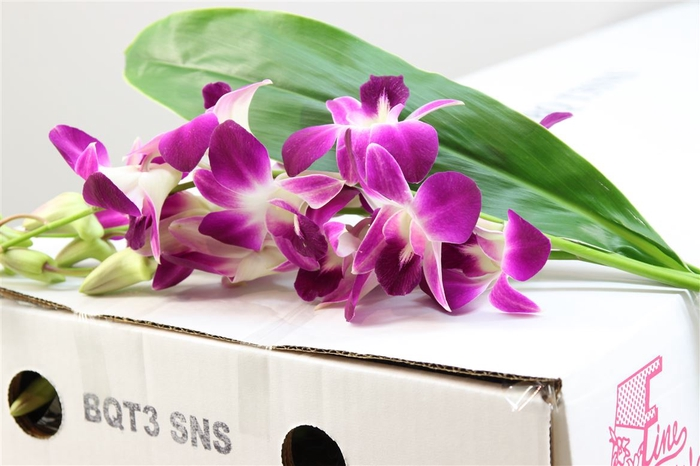 <h4>Dendrobium Boeket Lila / Wit</h4>