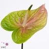 Anthurium A Lucardi