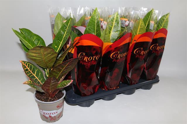 <h4>Codiaeum variegatum grootbladig 'Petra' 13Ø 45cm</h4>