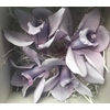 Cymbidium L. Paars (purple120)