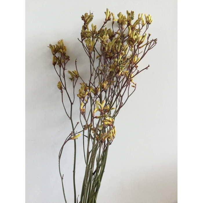 <h4>DRIED FLOWERS - ANIGOZANTHUS GOLD FEVER 10PCS</h4>