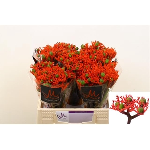 JATROPHA P FIRE
