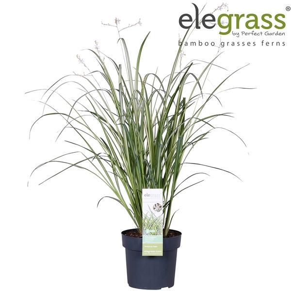 <h4>Chlorophytum saundersiae Starlight - Elegrass</h4>