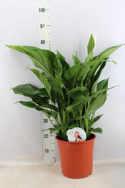 <h4>Spathiphyllum  'Sweet Lauretta'</h4>
