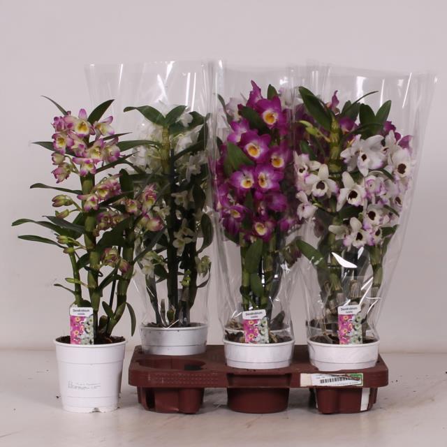 <h4>Dendrobium nobile gemengd</h4>