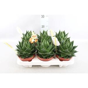 Aloe aristata 'Cosmo'