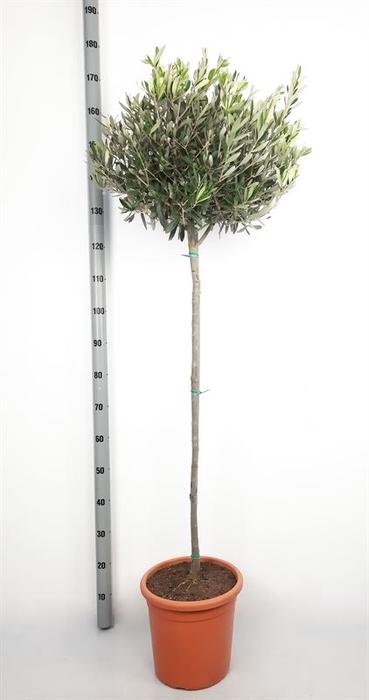 <h4>Olea europaea</h4>