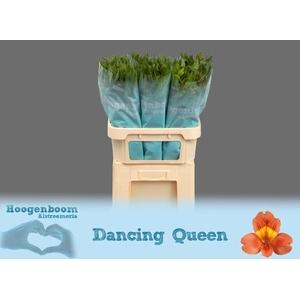 ALSTR DANCING QUEEN