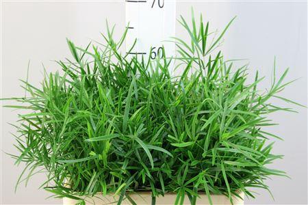 <h4>Asparagus Falcatus 60</h4>