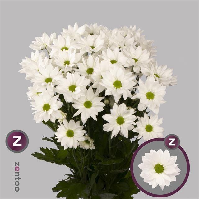 <h4>Chrysanthemum TR 'Softone White'</h4>