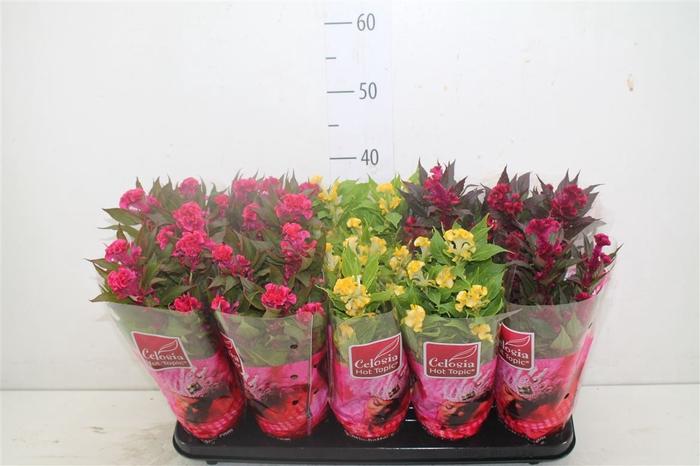 <h4>Celosia Argentea Hot Topic Gemengd</h4>