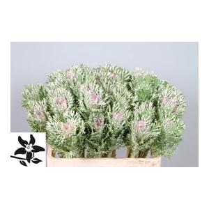 Brassica Crane King