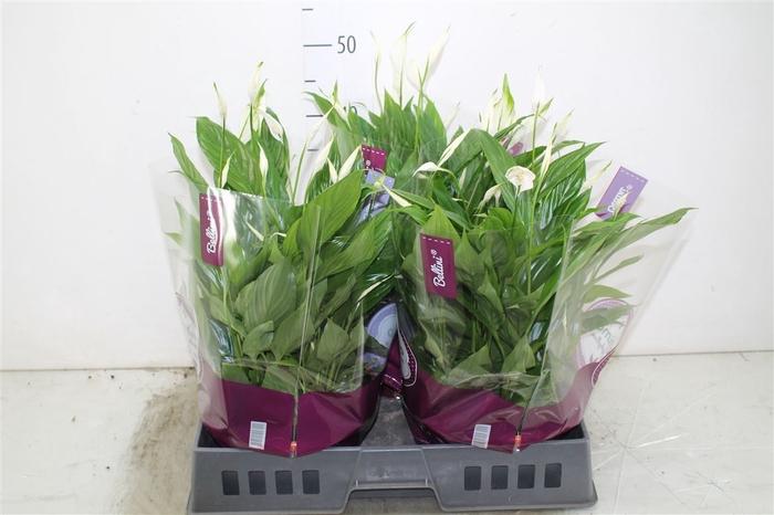<h4>Spathiphyllum Bellini Schaal</h4>