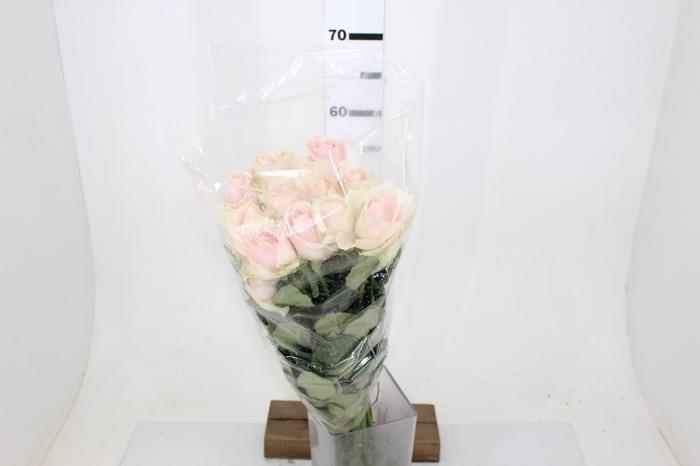 <h4>ROSA SWEET AVALANCHE 060 CM ESTUFA</h4>