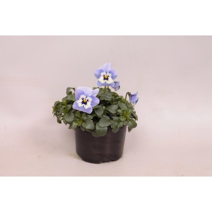 <h4>Viola cornuta sixpack F1 Light Marina</h4>