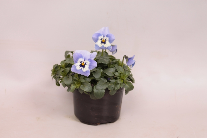 Viola cornuta F1 Light Marina