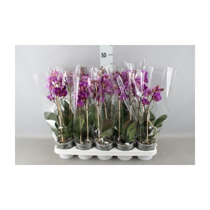 <h4>Phalaenopsis   ...lilac</h4>