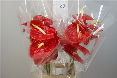 <h4>Anthurium A Tropical</h4>