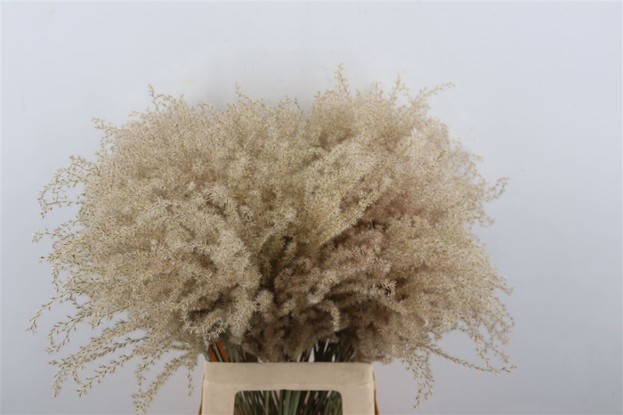 <h4>Dried Stipa Feather Ptk</h4>