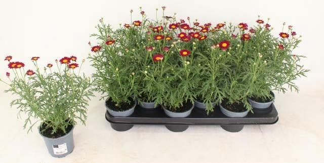 <h4>Argyranthemum La Rita Purp Red</h4>