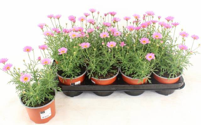 <h4>Argyranthemum Cymbidium Light Pink</h4>