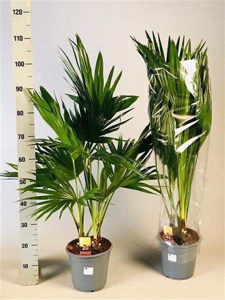 <h4>Livistona rotundifolia 21Ø 110cm</h4>