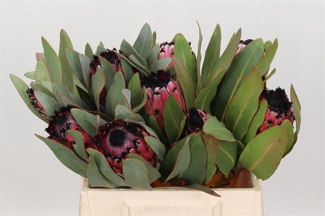 <h4>PROTEA MA RED BEAUTY</h4>