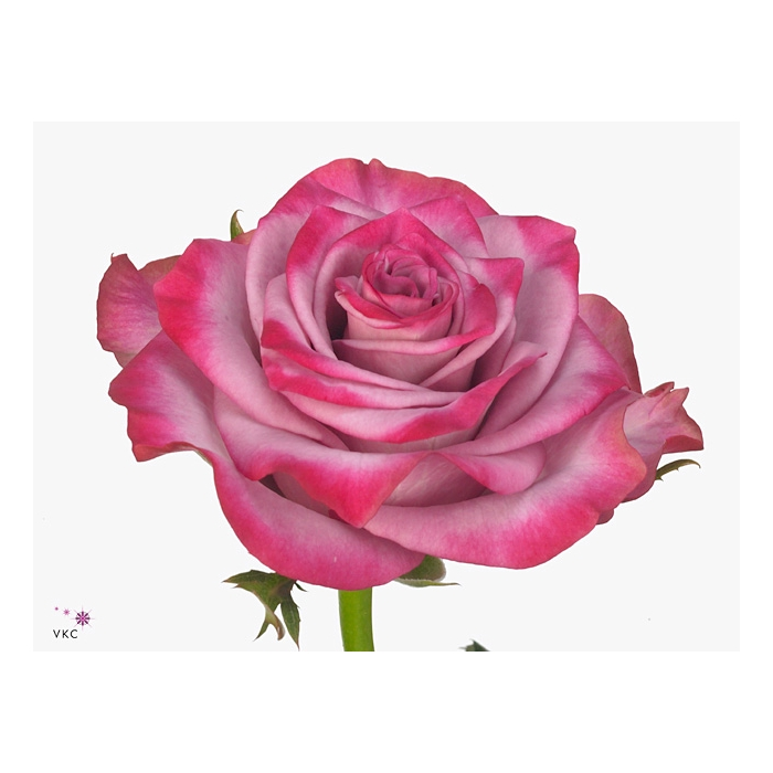 <h4>Rosa Gr. Deep Purple</h4>