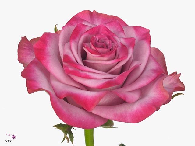 Rosa Gr. Deep Purple
