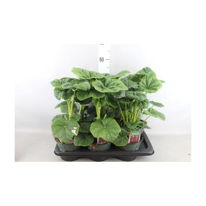<h4>Alcea rosea 'Pleniflora'</h4>