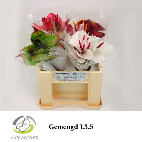 <h4>Anthurium andr. 'Love Collectie'</h4>