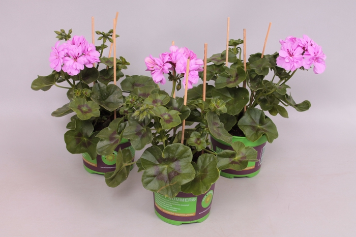 Pelargonium Peltatum Royal Amethyst