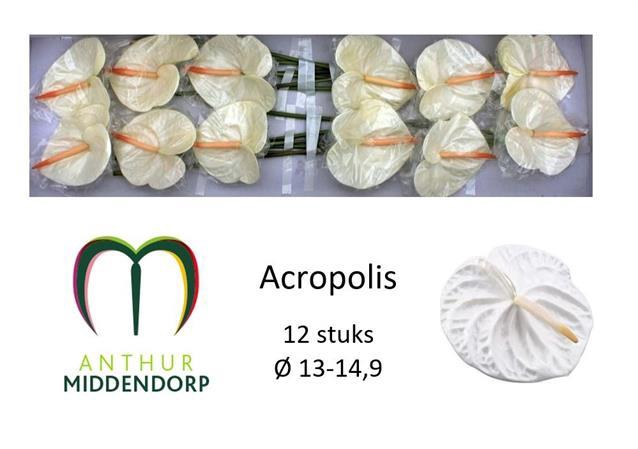 <h4>Anthurium Acropolis</h4>