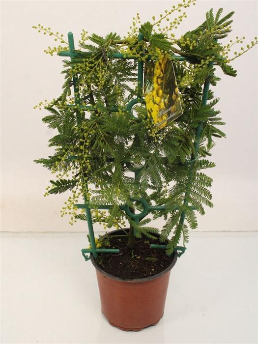 <h4>Acacia Mimosa Daelbata Mix</h4>