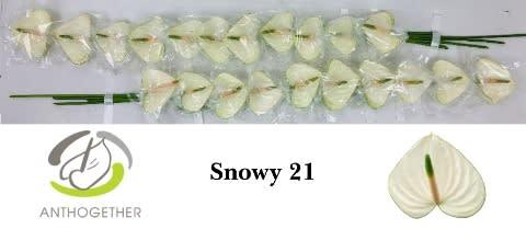 <h4>ANTH A SNOWY 21.</h4>