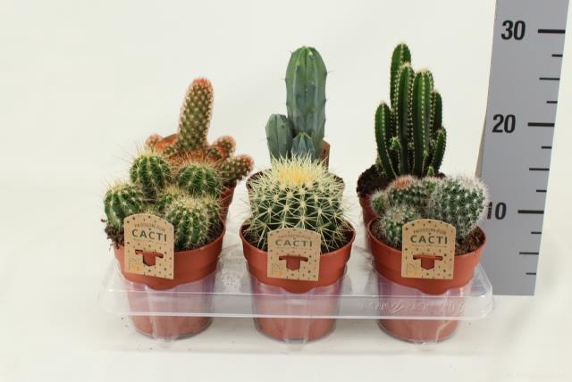 <h4>Cactus mix 12Ø 15cm</h4>