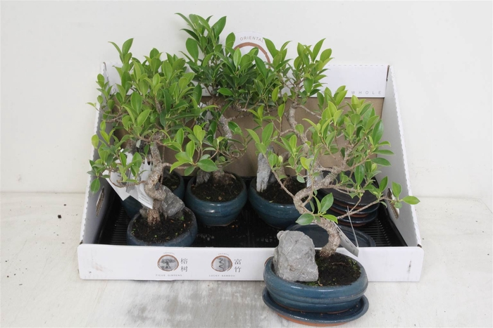 <h4>Bonsai Mix With Rock In Ceramic With Saucer #</h4>
