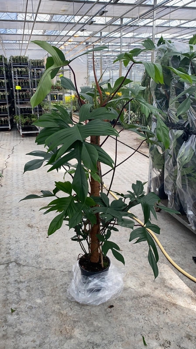 <h4>Philodendron Florida Beauty Green 24Ø 160cm</h4>