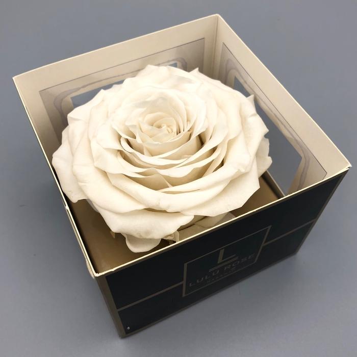 <h4>R PR XXL Lulu White</h4>