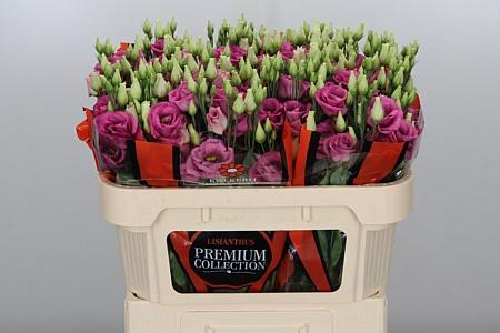 <h4>Eust G Rosita Rose Pink</h4>