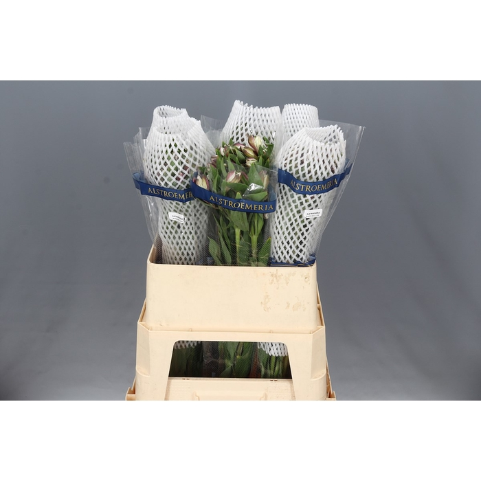 <h4>Alstroemeria Marshmallow</h4>