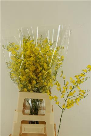 <h4>Oncidium Honey Angel L</h4>