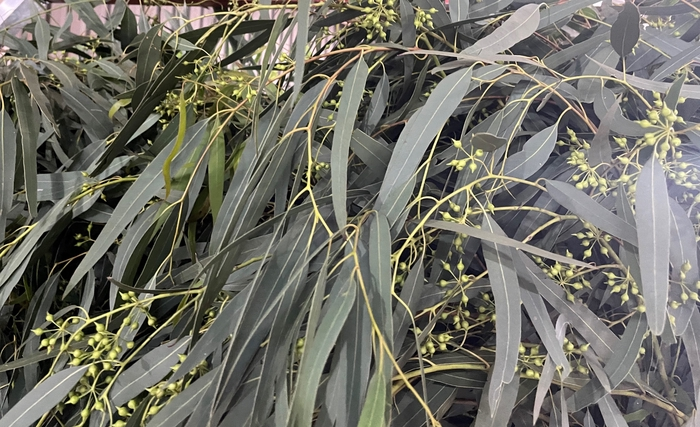 <h4>Greens - Eucalyptus Nicholii Long 300g (p/bnch)</h4>