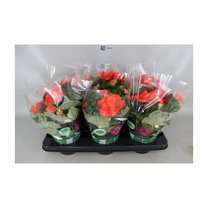 <h4>Begonia elat. DU 'Solenia Red'</h4>