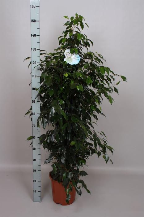<h4>Ficus benja. 'Danielle'</h4>