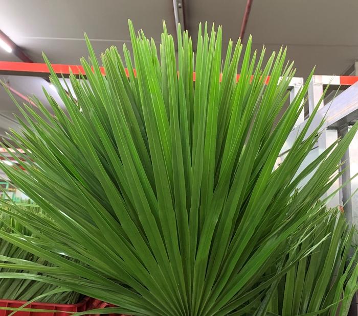 <h4>Greens - Chamacrops Humilis</h4>