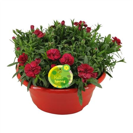 <h4>Hello Spring Dianthus Oscar In Schaal Rood</h4>