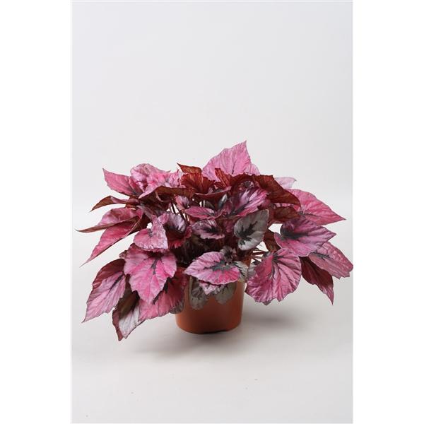 <h4>Begonia Beleaf Indian Summer</h4>