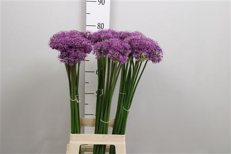 <h4>Allium Gladiator</h4>