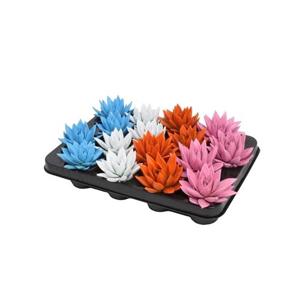 <h4>Echeveria coloured summer mix</h4>